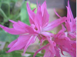 ... de Paris Bicolour' - Cascading Geraniums - The Vernon Geranium Nursery